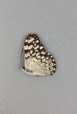 Hamadryas epinome = florentia M A1 Peru