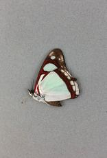 Pyrrhogyra edocla maculata M A1 Bolivia