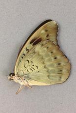 Euthalia calephorus M A1 Philippines