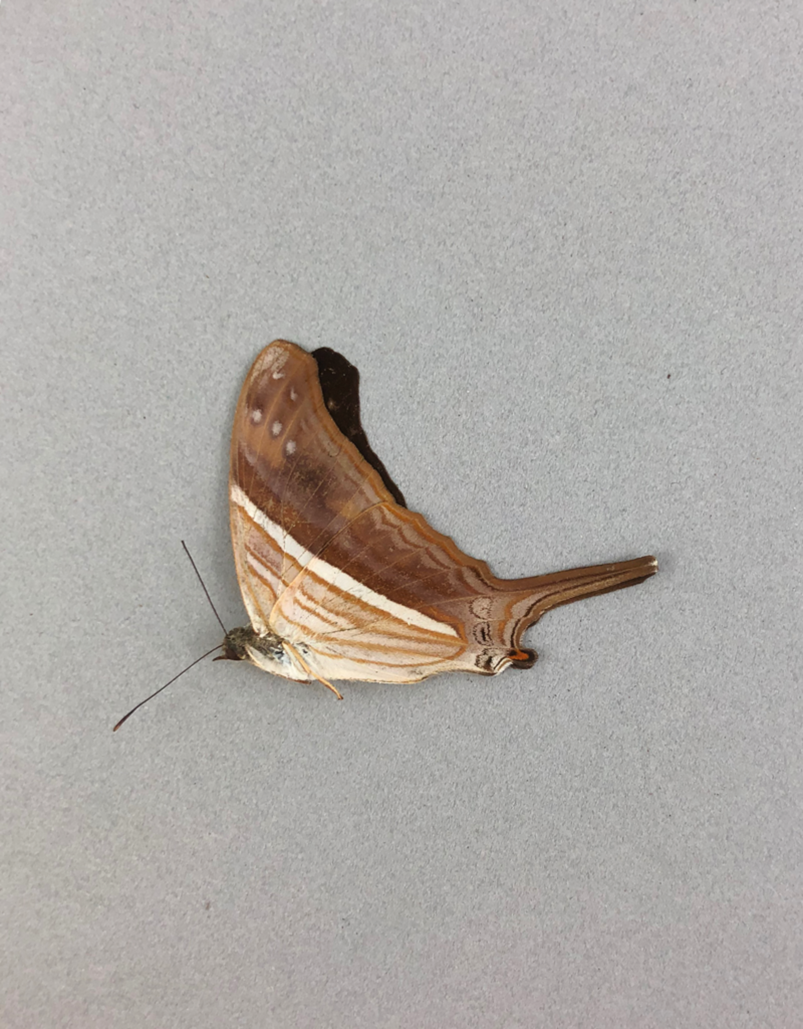Marpesia merops M A1/A1- Peru
