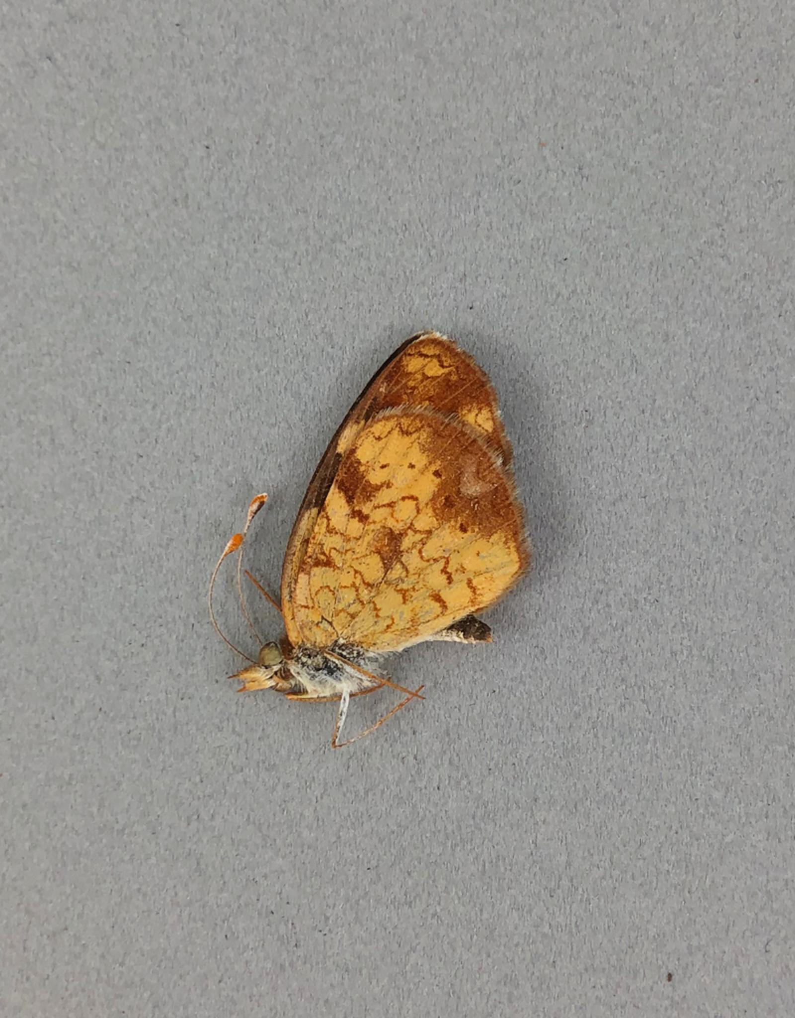 Phyciodes cocyta selenis M A1/A1- Alberta, Canada