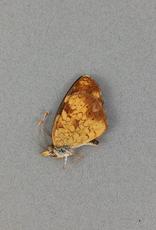 Phyciodes cocyta selenis PAIR A1 Alberta, Canada