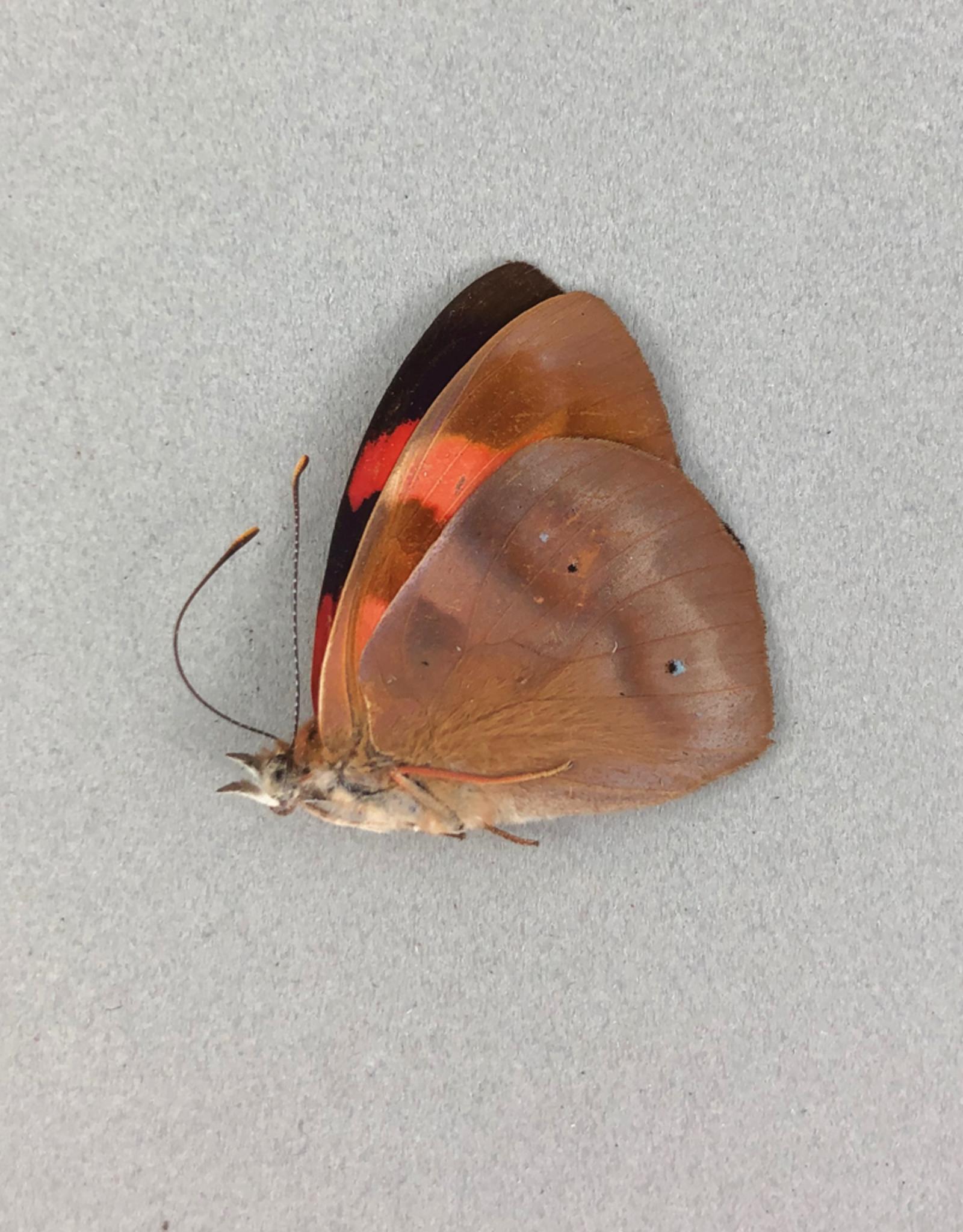 Temenis pulchra f. dilutior M A1 Peru