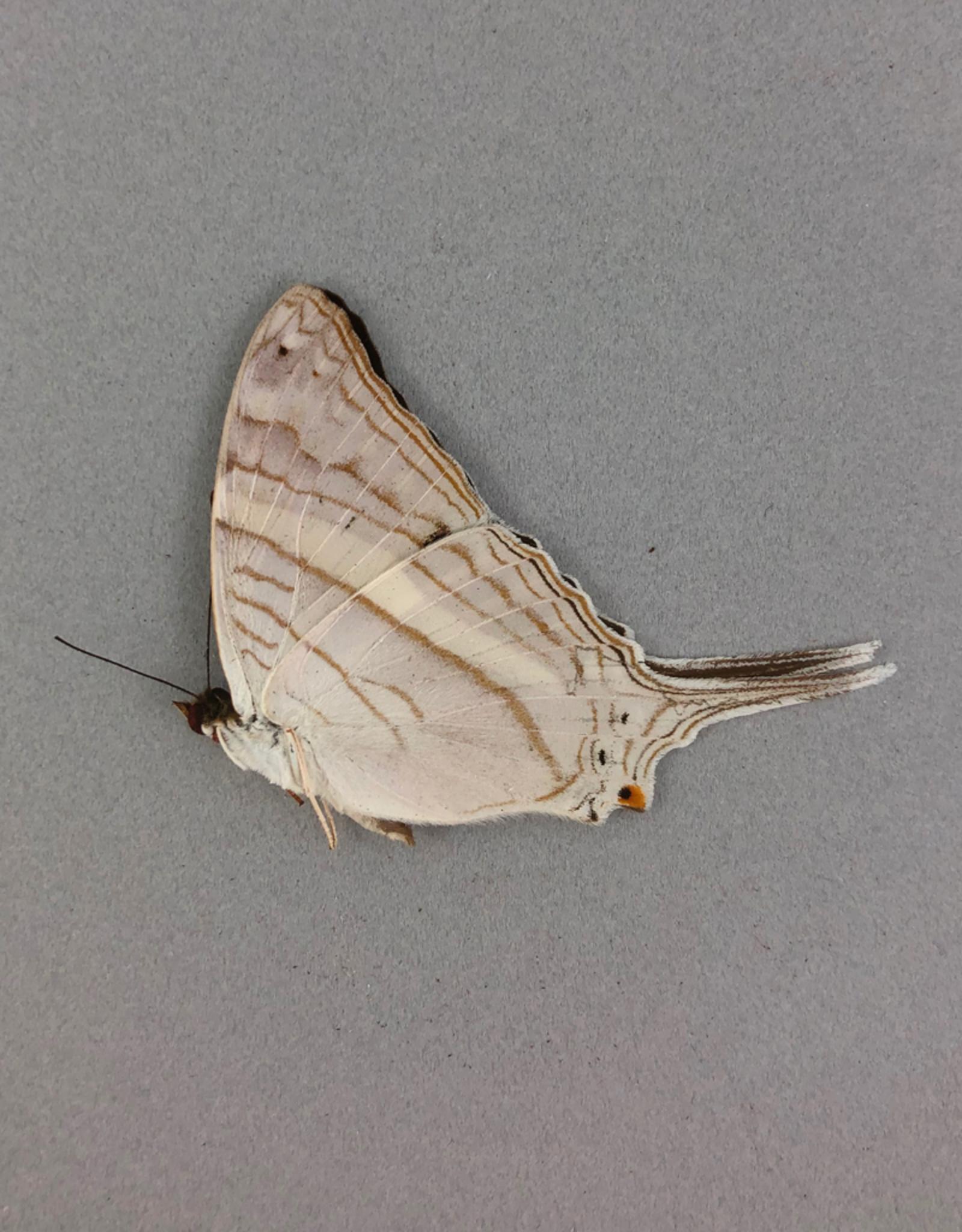Marpesia orsilochus M A1 Peru