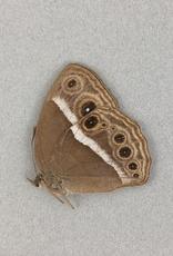 Mycalesis rama M A1- India