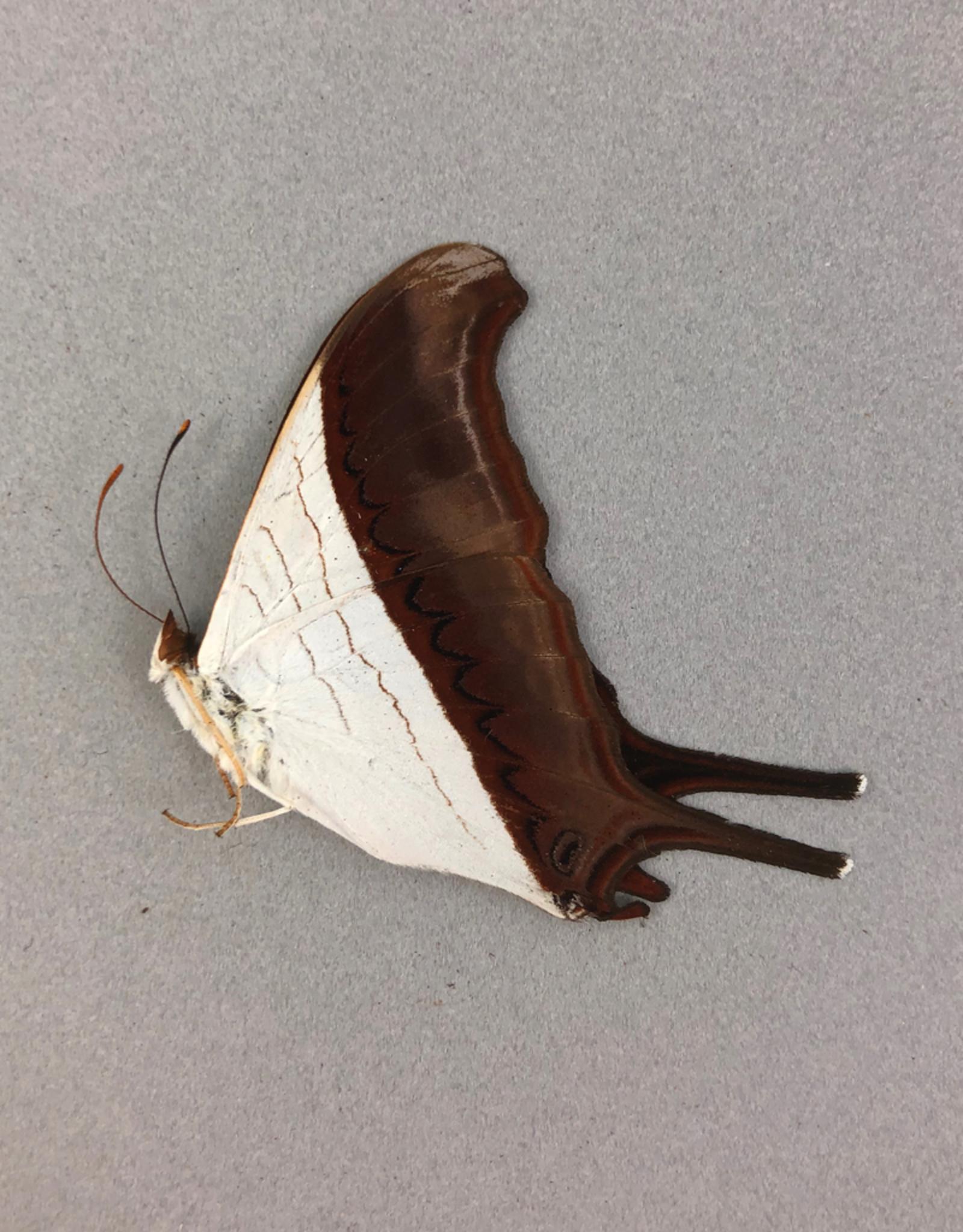 Marpesia coresia M A1 Peru