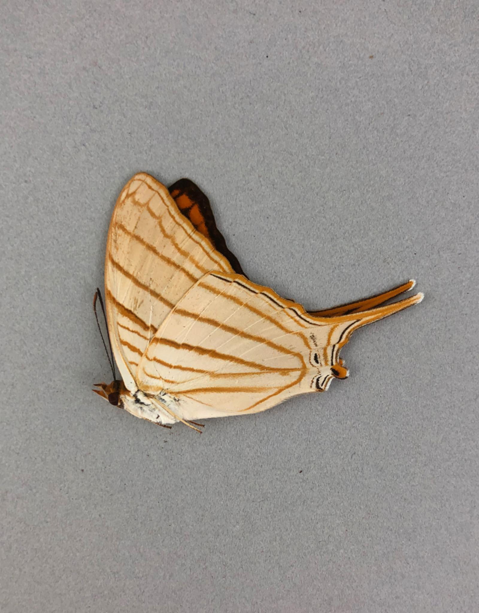 Marpesia livius livius M A1 Peru