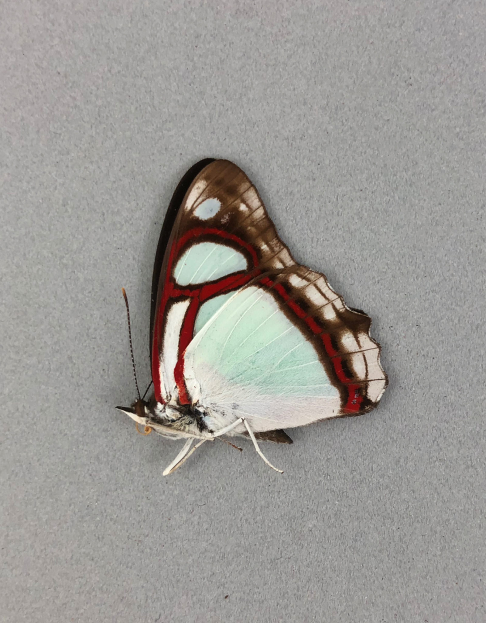 Pyrrhogyra edocla lysanias M A1 Peru