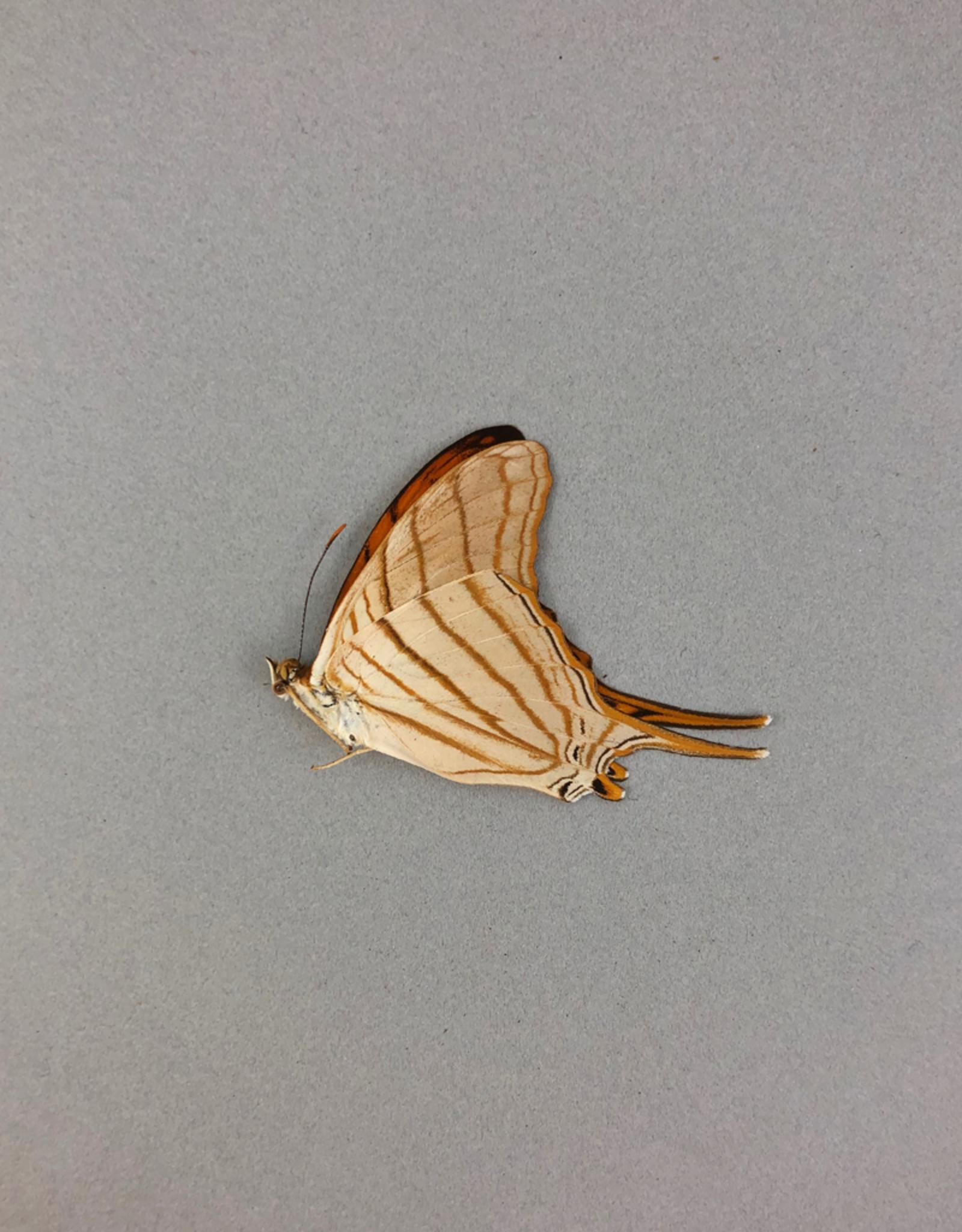 Marpesia berania ssp. M A1 Peru