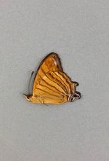 Cyrestis f. thyonneus M A1 Indonesia