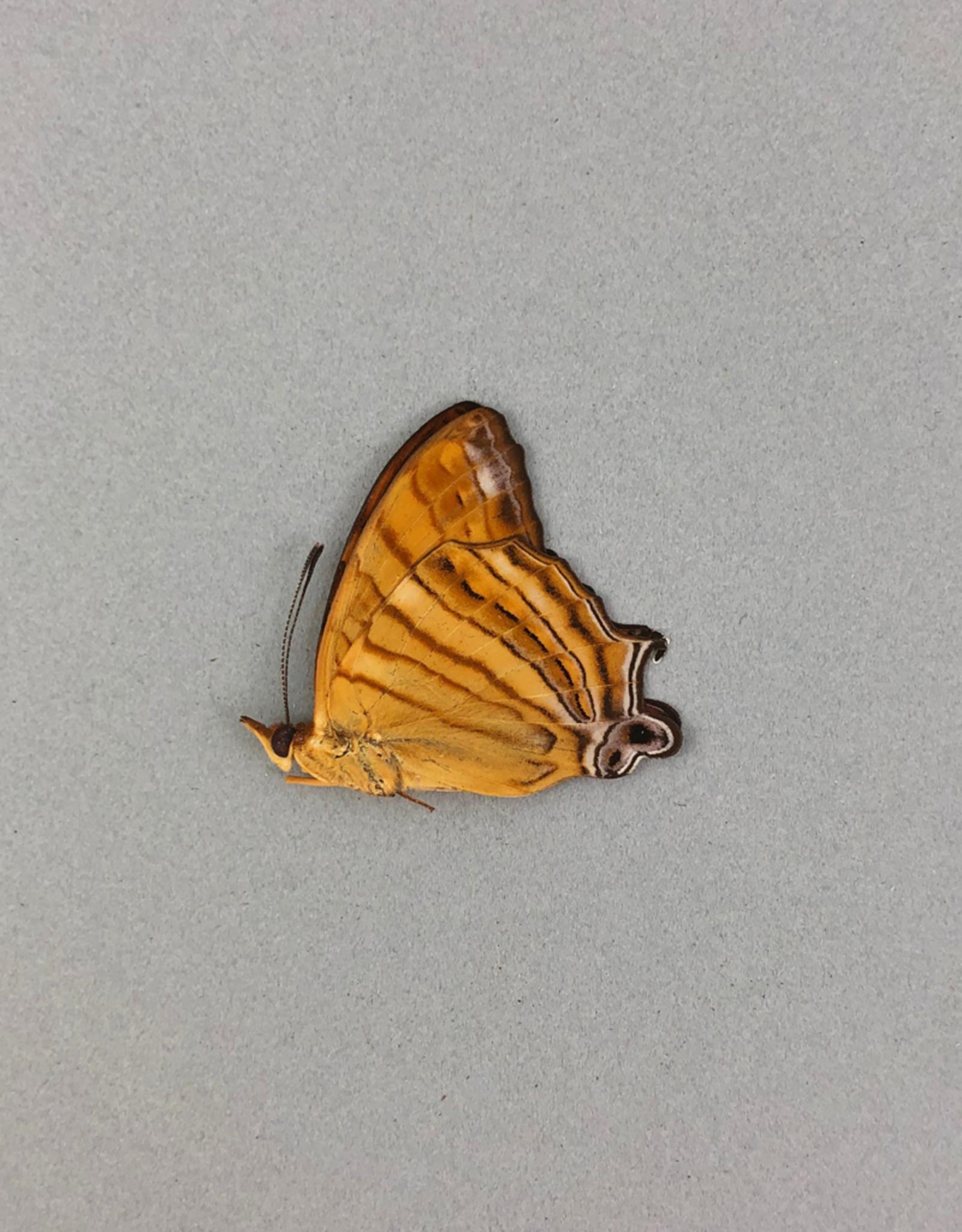 Cyrestis f. thyonneus M A1/A1- Indonesia
