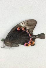 Papilio karna karna F A1 Indonesia