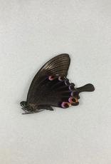 Papilio karna karna M A1 Indonesia