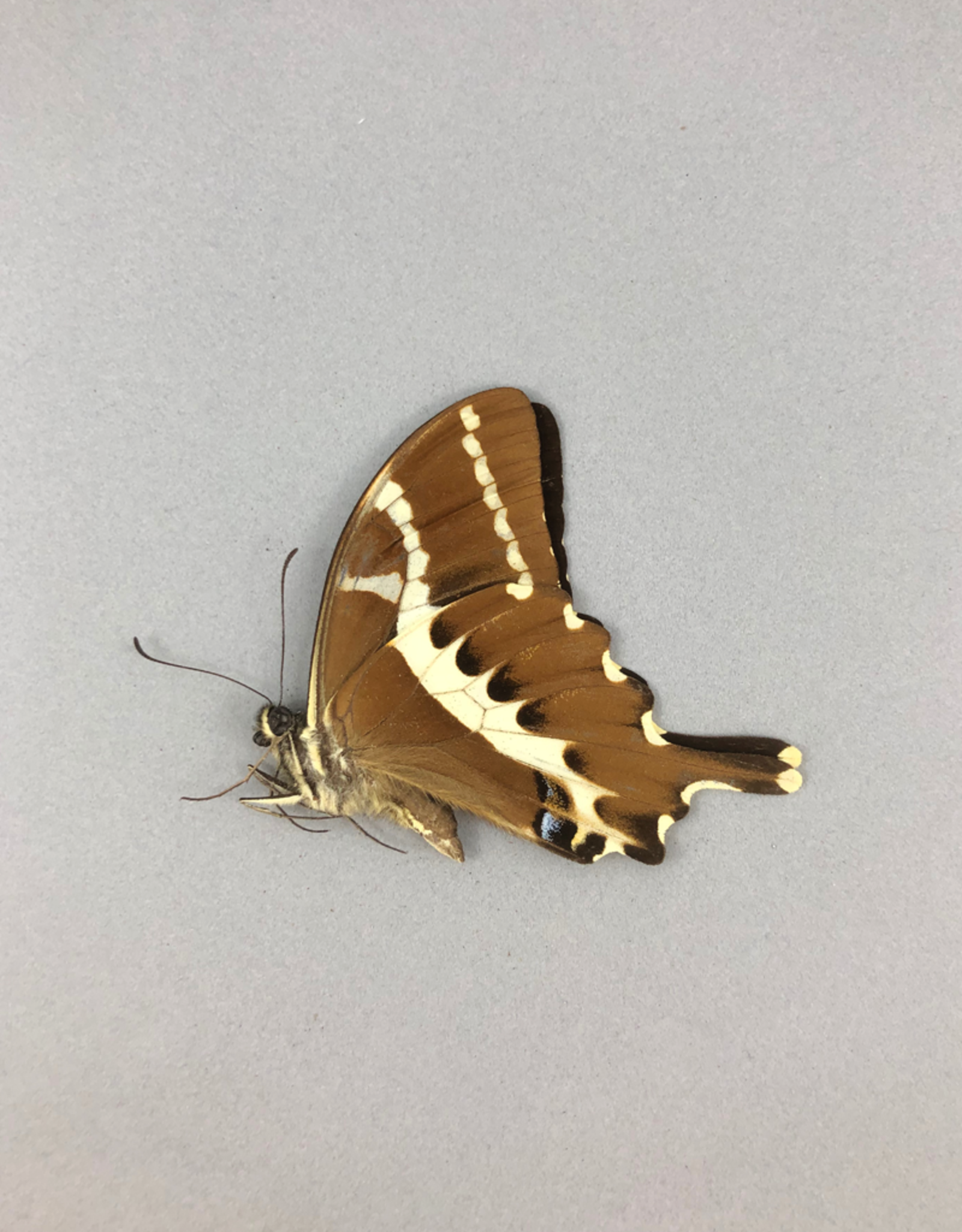 Papilio delalandei M A1 Madagascar