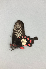 Pachliopta aristolochiae ceylonica M A1- Sri Lanka