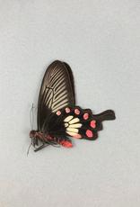 Pachliopta aristolochiae ceylonica M A1/A1- Sri Lanka