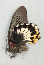 Papilio memnon memnon (tailless) F A1 Philippines