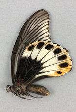 Papilio memnon memnon (tailless) F A1 Indonesia