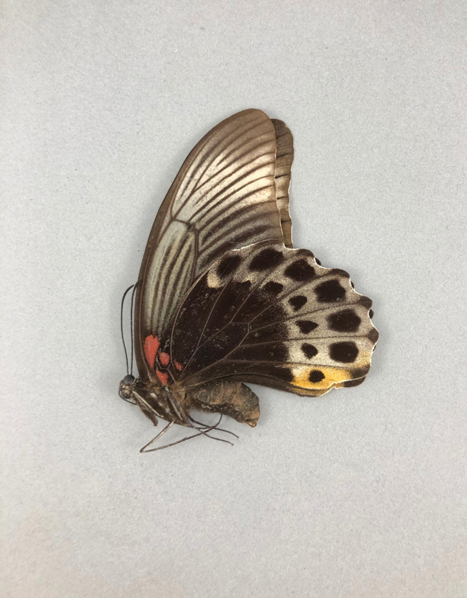 Papilio memnon anceus F A1 Indonesia