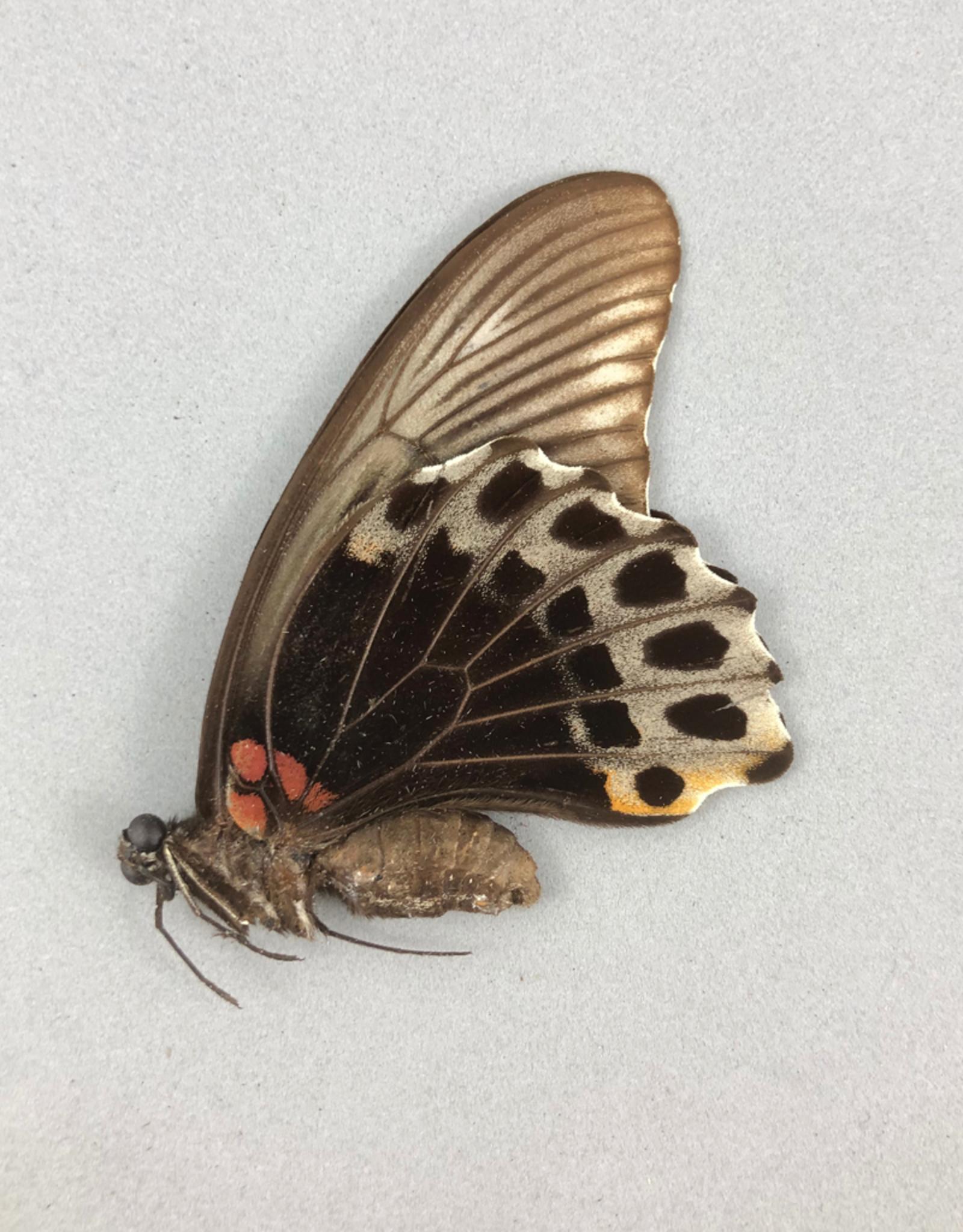 Papilio memnon agenor F A1 Indonesia