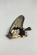 Papilio memnon agenor (tailed) F A1- Indonesia