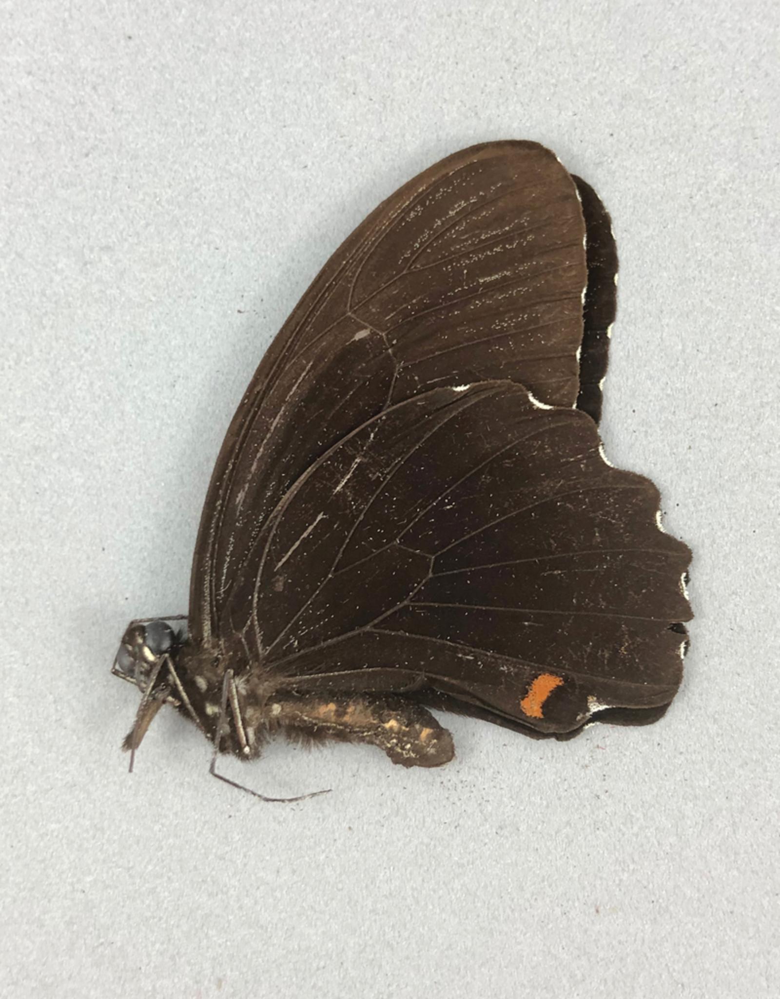 Papilio ambrax epirus M A1- Indonesia