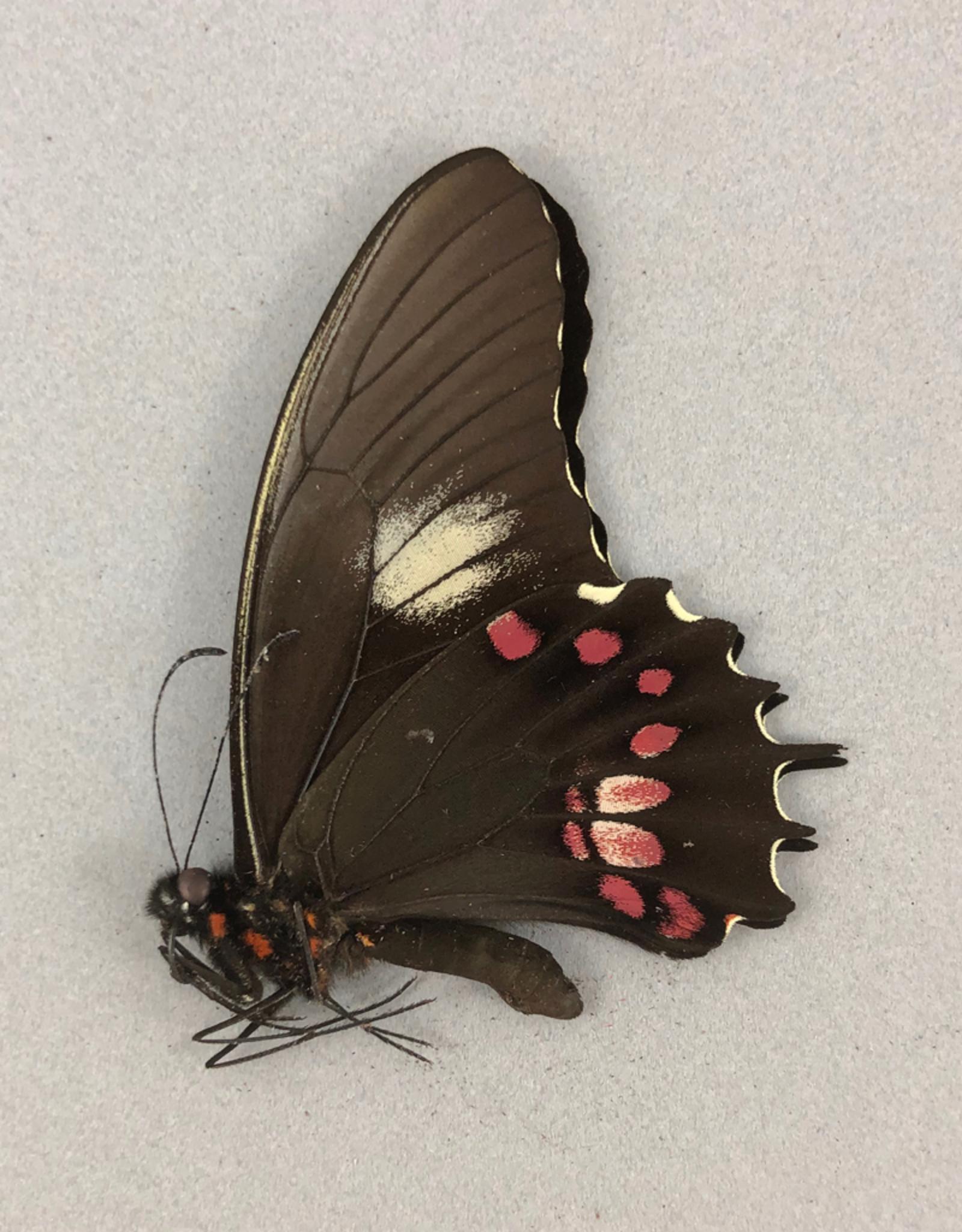 Papilio isidorus isidorus M A1 Peru