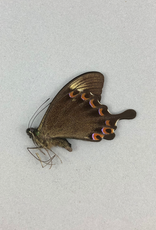 Papilio paris tengerrensis M A1 Indonesia
