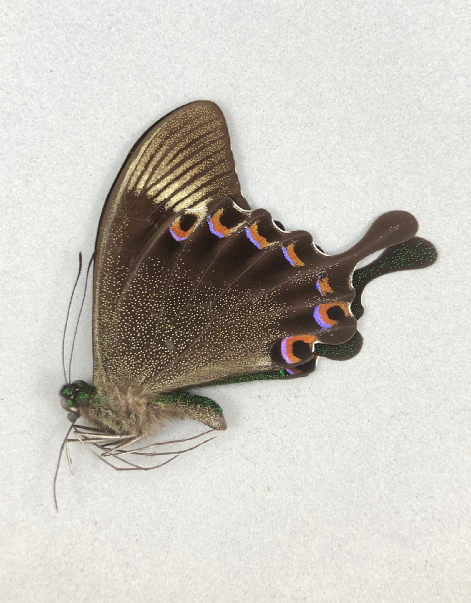 Papilio paris gedeensis M A1 Indonesia