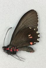 Parides erlaces xanthias M A1 Peru
