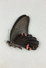 Papilio protenor amaurus M A1 Taiwan