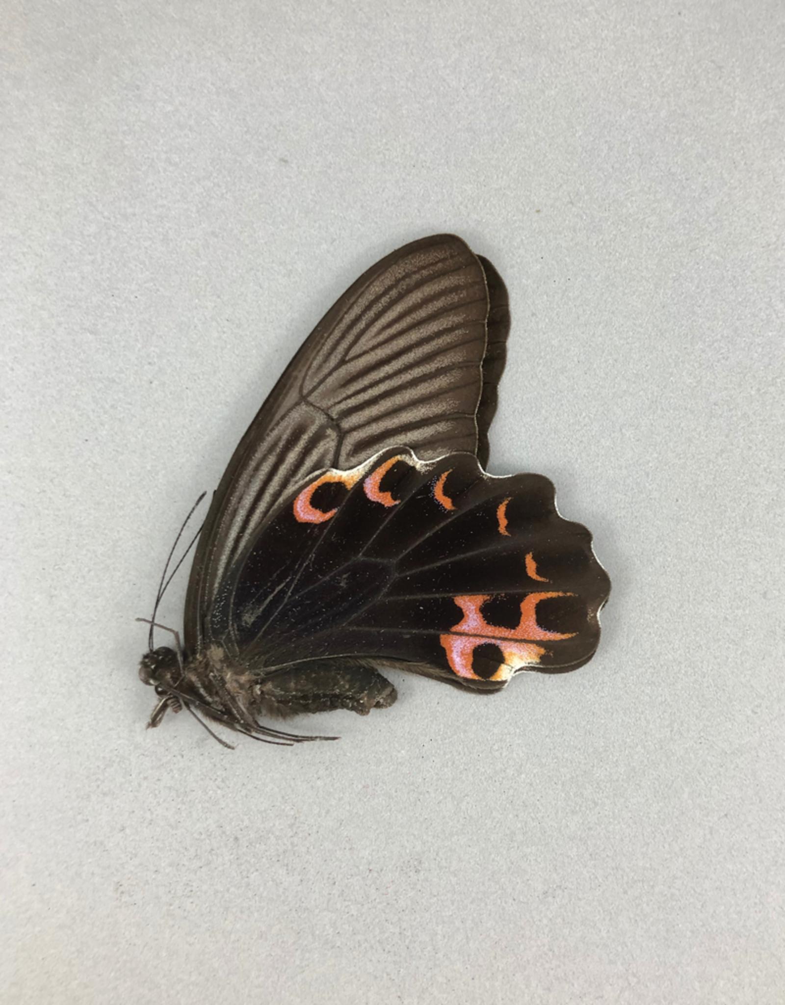 Papilio protenor amaurus F A1 Taiwan