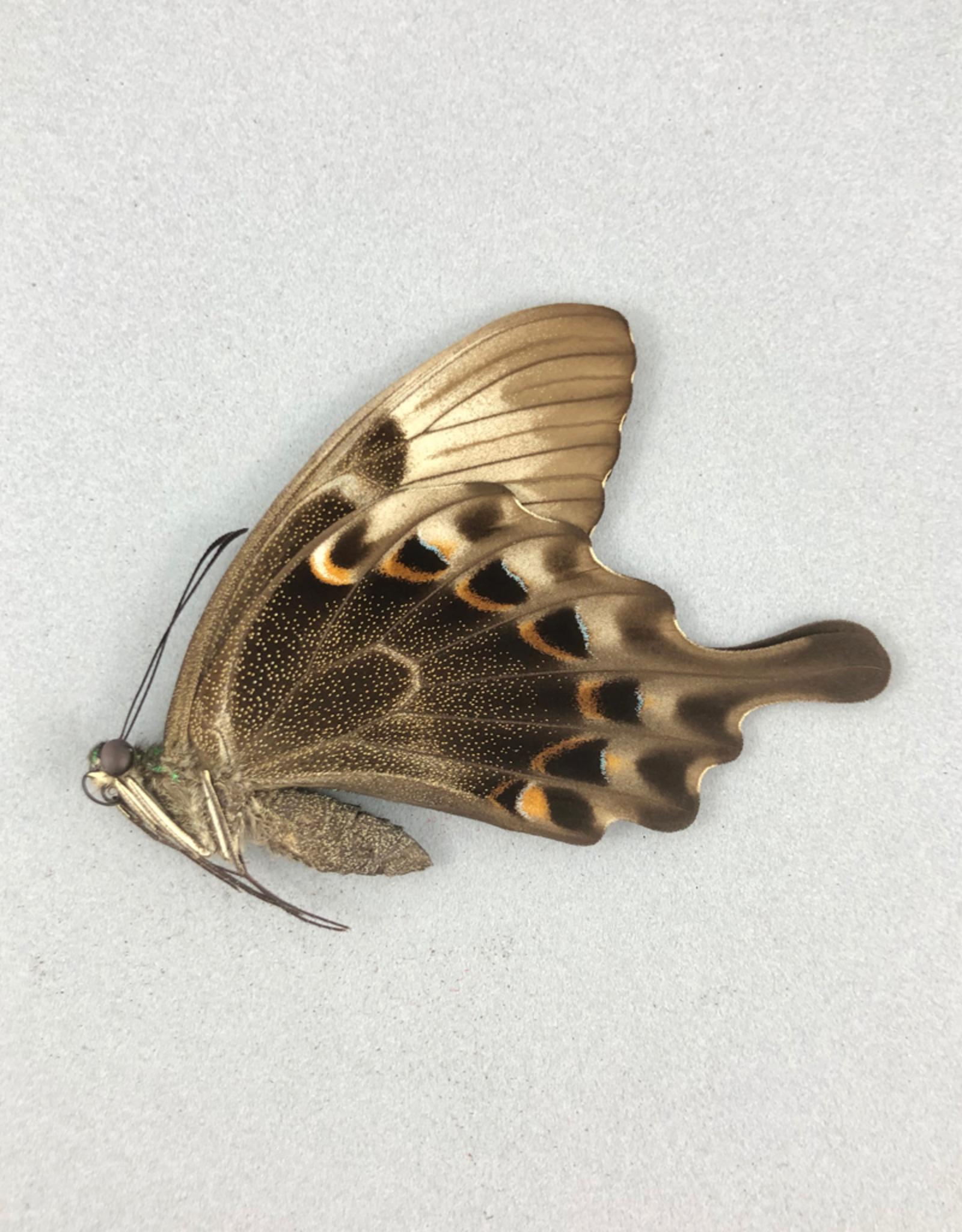 Papilio peranthus transiens M A1 Indonesia