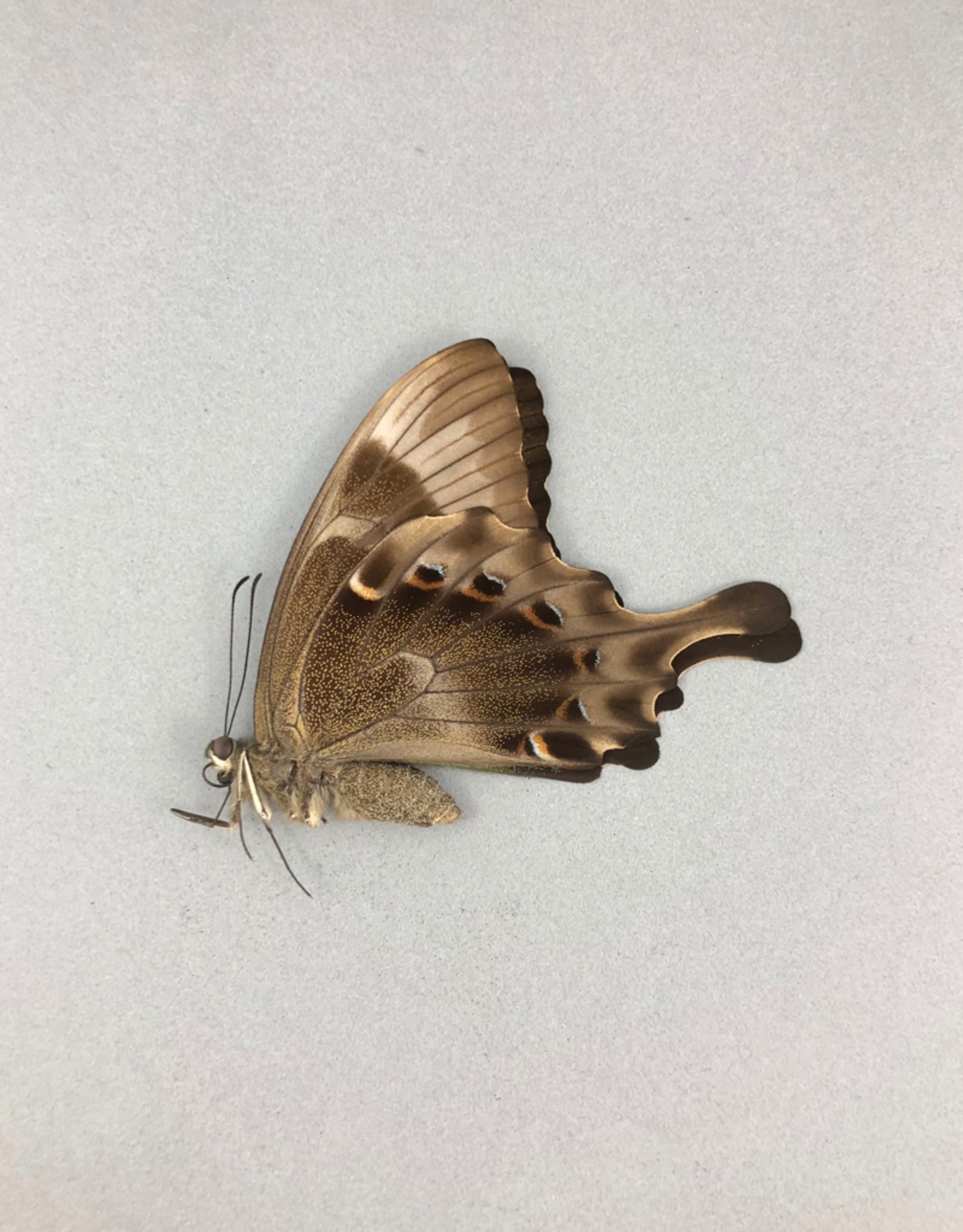 Papilio peranthus transiens F A1- Indonesia