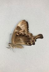 Papilio peranthus transiens F A1 Indonesia