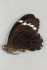 Papilio aegeus ormenus f. ormenus M A1 Indonesia