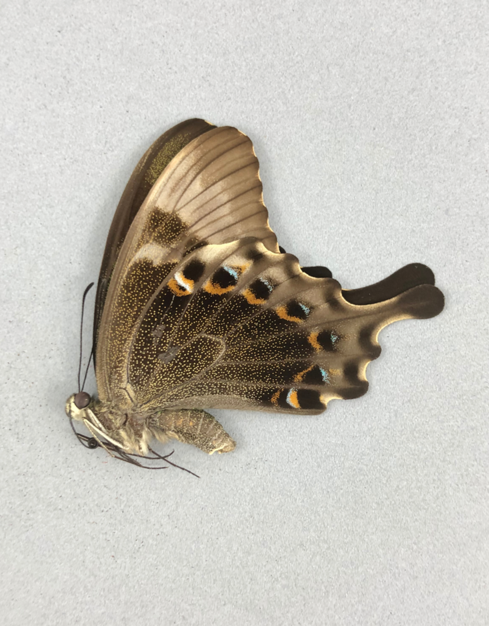 Papilio peranthus kangeanus F A1 Indonesia