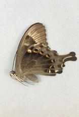 Papilio peranthus kangeanus M A1 Indonesia