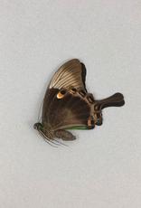Papilio palinurus palinurus M A1 Indonesia