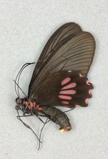 Parides neophilus olivencius F A1 Peru