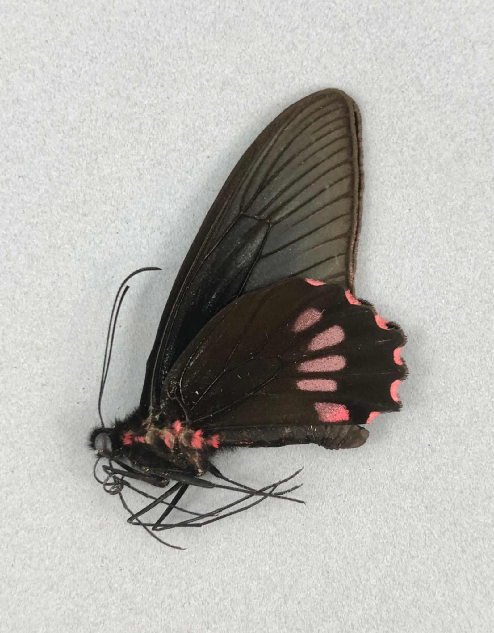 Parides neophilus olivencius M A1 Peru