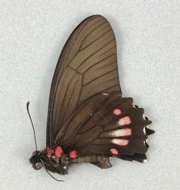 Eurytides euryleon anatmus M A1 Peru