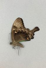 Papilio peranthus peranthus M A1 Indonesia