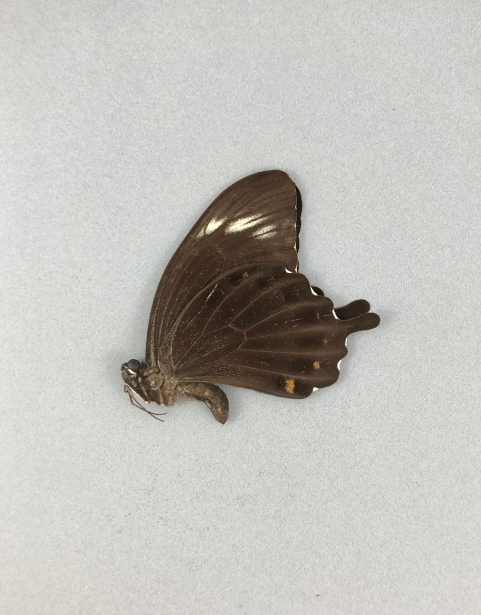 Papilio fuscus thomsoni M A1/A1- Indonesia