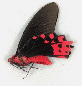 Atrophaneura semperi supernotatus M A1 Philippines