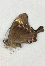 Papilio paris detanii M A1 Indonesia