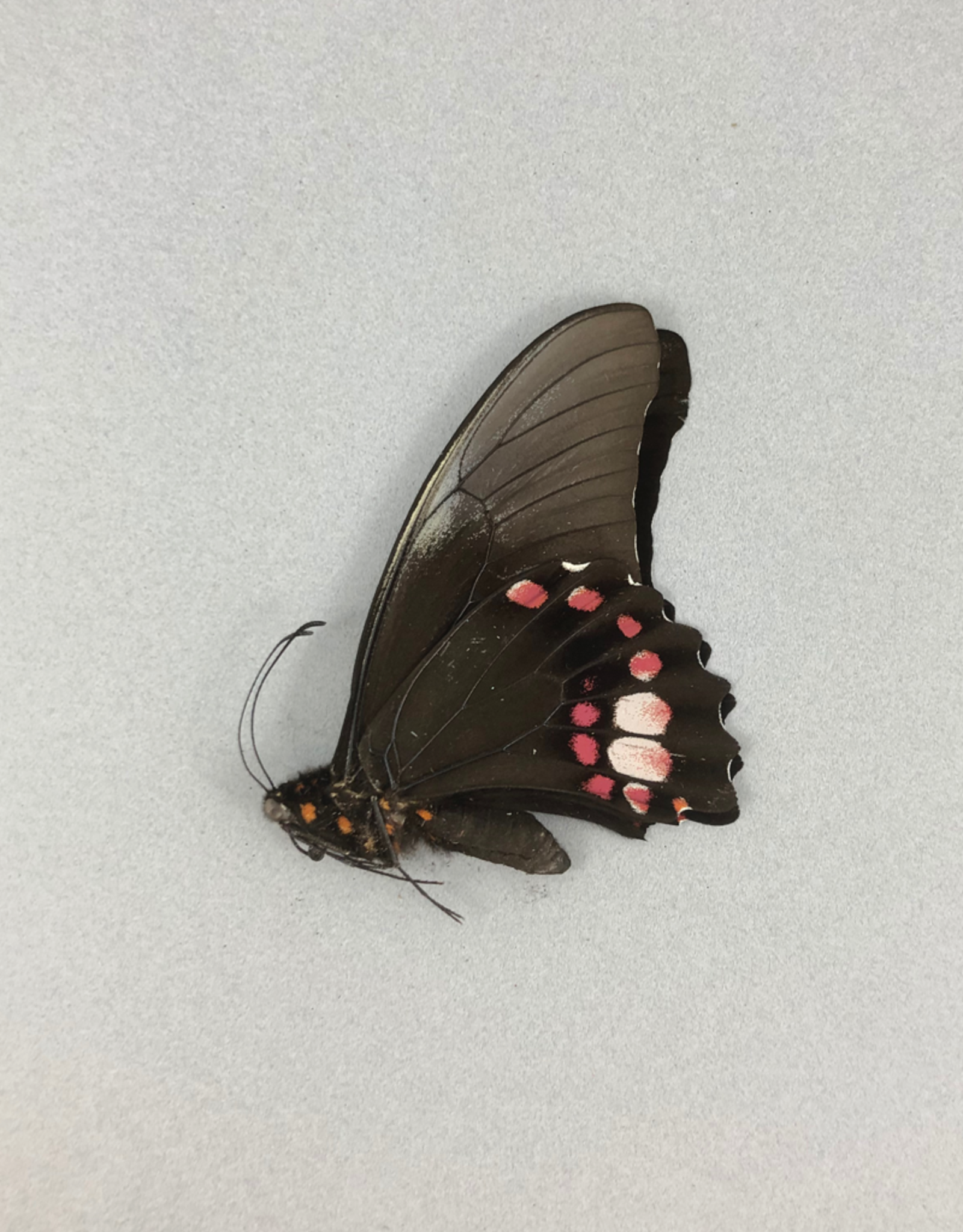 Papilio anchiasades idaeus M A1 Peru