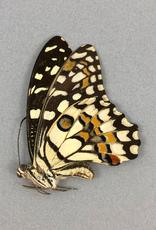 Papilio demoleus ssp.? F A1/A1- Sri Lanka a.o.