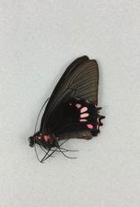 Parides lysander brissonius M A1 Peru