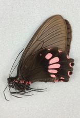 Parides lysander brissonius F A1 Peru